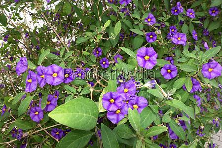 blue potato bush or paraguay nightshade