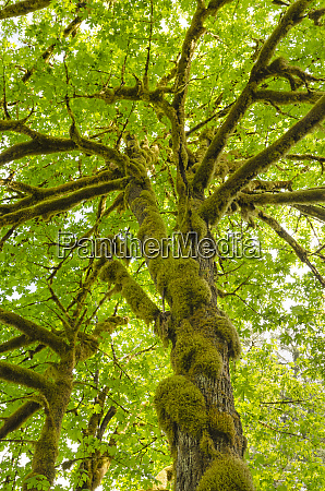 bigleaf maple acer macrophyllum baker river