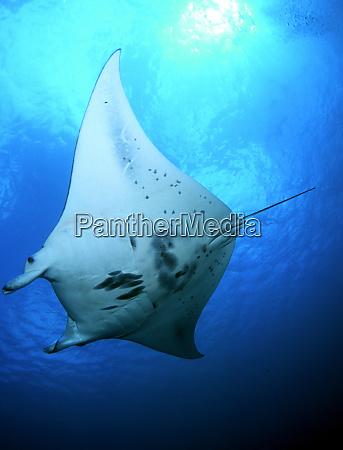 manta ray in goofnuw channel yap