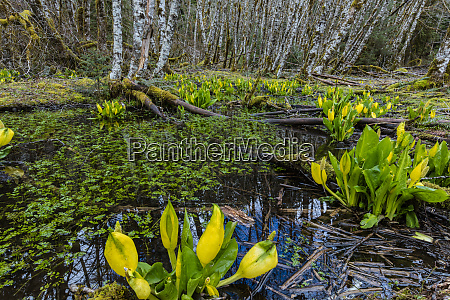 skunk cabbage and alder forest in