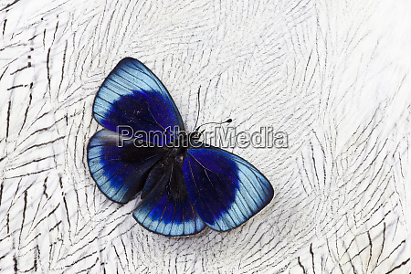 peruvian asterope butterfly on silver pheasant