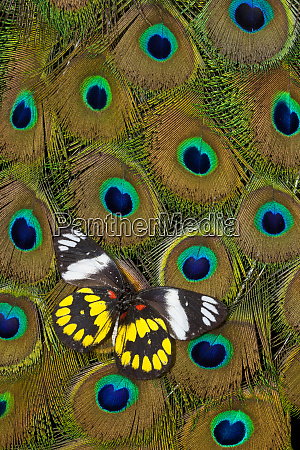 underside of delias butterfly on peacock