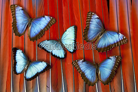 five blue morpho butterflies on macau