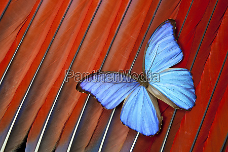 tropical blue morpho butterfly on scarlet