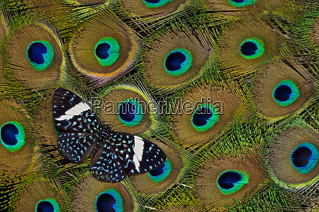 tropical cracker butterfly on peacock tail