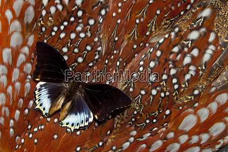 fast flying tropical charaxes butterfly on