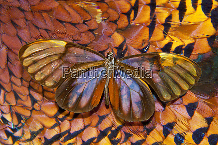 glass wing butterfly on ring necked