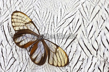 glass wing butterfly on silver pheasant