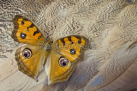 pansy butterfly on egyptian goose feather