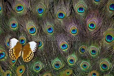 jungle queen butterfly on peacock tail