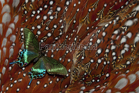 tropical swallowtail butterfly papilio bianor on