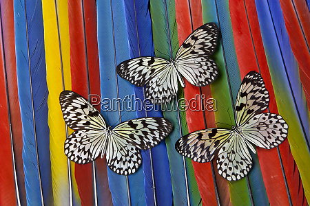 paper kite tropical butterfly on macaw