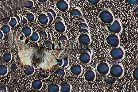 apollo butterfly on grey peacock pheasant