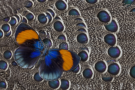 peruvian asterope butterfly on grey peacock