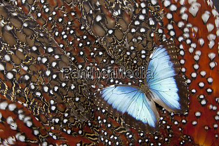 blue morpho butterfly on tragopan body