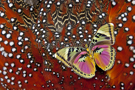euphaedra butterfly on tragopan body feather