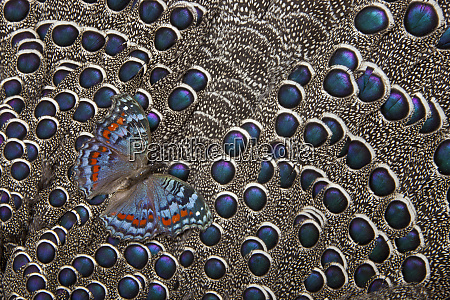 african gaudy commodore butterfly on grey