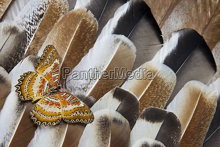 lacewing butterfly on turkey feather design