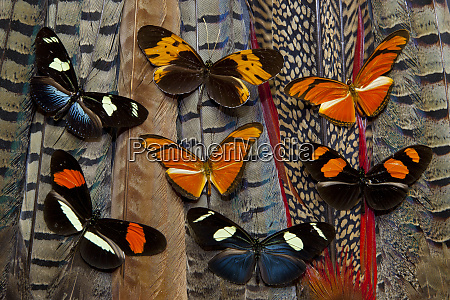 seven longwing butterflies on tail feathers