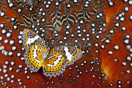 lacewing butterfly on tragopan body feather