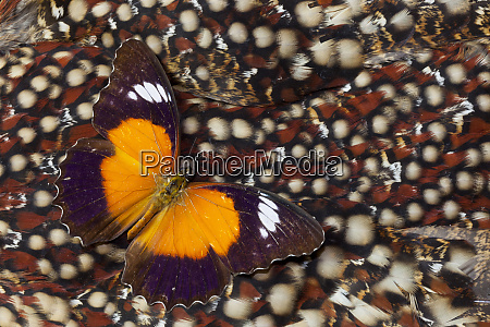 cethosia lacewing butterfly on tragopan back