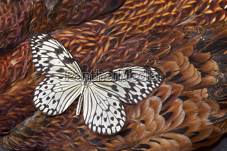 paper kite butterfly on cooper pheasant