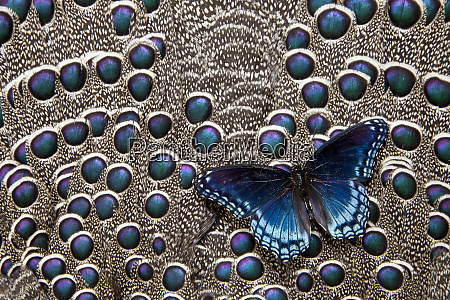 north american red spotted purple butterfly