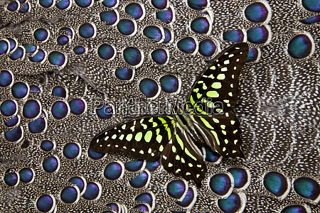 tailed jay butterfly on grey peacock