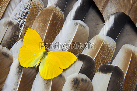 butterfly on turkey feather design