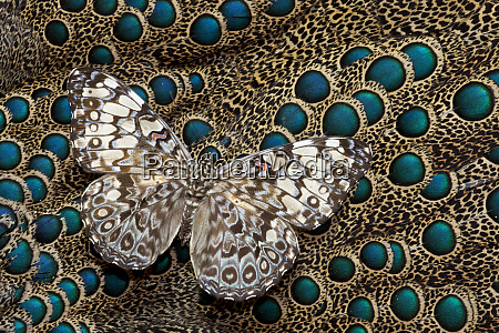 cracker butterfly on malayan peacock pheasant