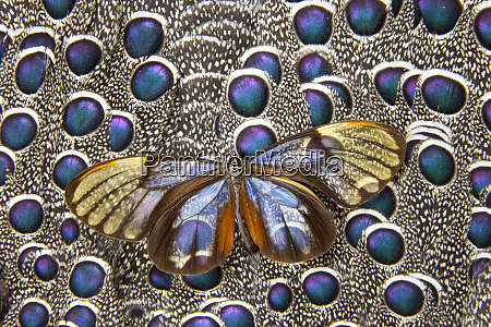 glass winged butterfly on grey peacock