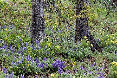 springtime bloom amongst oak lupine sweet