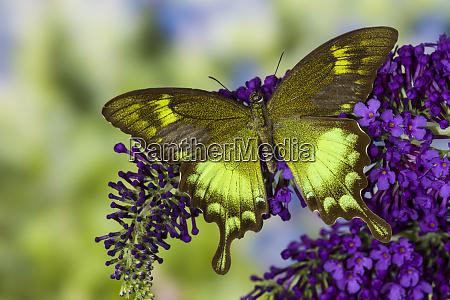 papilio neumogeni asian swallowtail butterfly on