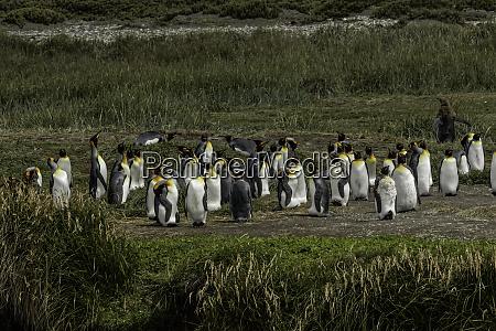 king penguin colony useless bay tierra