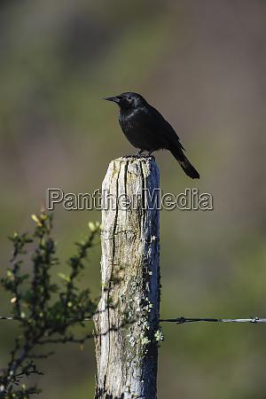 chile aysen villa frei austral blackbird