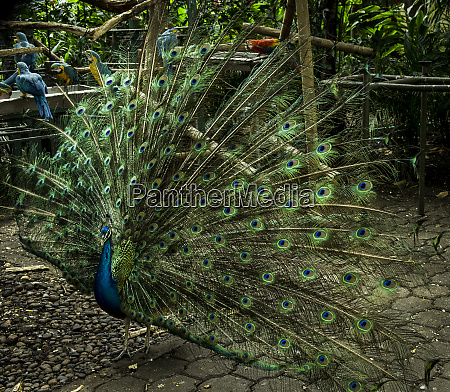 proud peacock in historic cartagena colombia