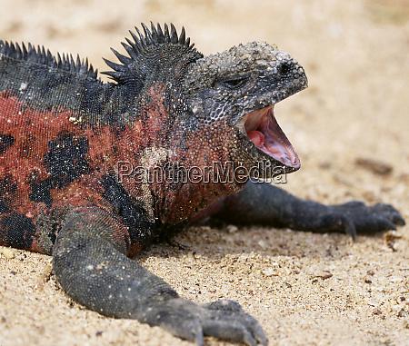 ecuador galapagos islands a marine iguana
