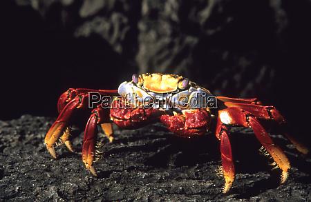 sally lightfoot crab galapagos islands ecuador