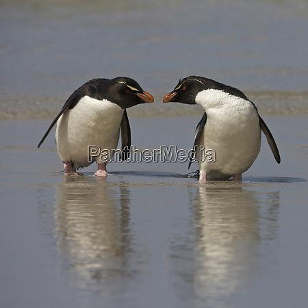 falkland islands rockhopper penguins on beach