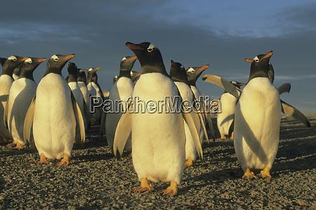 gentoo penguins pygoscelis papua falkland islands