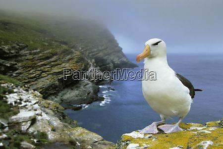 black browed albatross diomedea melanophris west