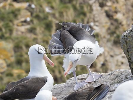 black browed albatross or black browed