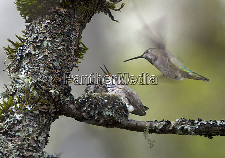 usa washington state female annas hummingbird