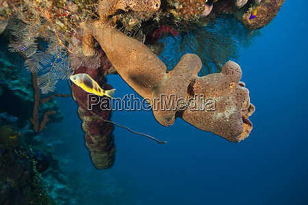 hamlet and branching vase sponge callyspongia