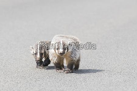 usa washington state american badger taxidea