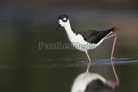 usa washington state adult black necked