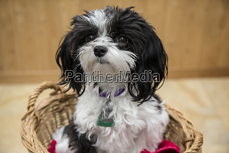 maltipoo puppy sitting in a basket