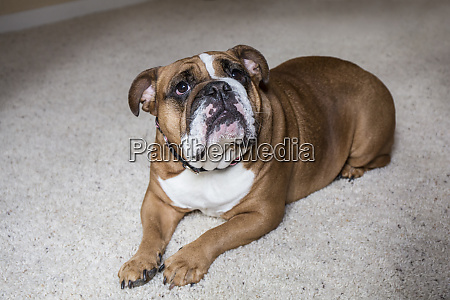 english bulldog on a down and