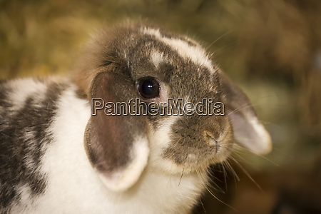 lop eared bunny sitting on a