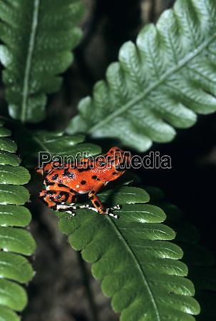 red dart frog panama